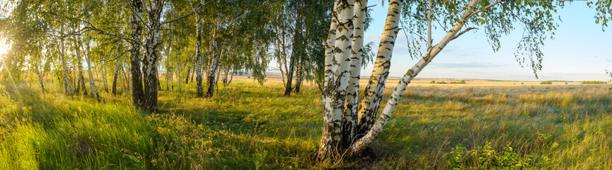 Summer panoramic landscape with birch trees during sunset