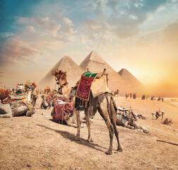 Camels near pyramids