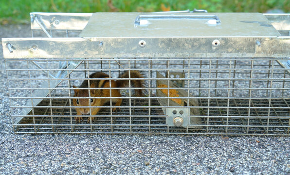 chipmunk trap in the back yard