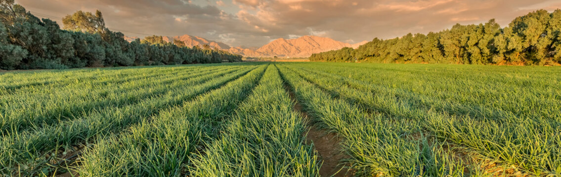 Agricultural field with ripe green onions. Advanced agriculture industry in desert areas of the Middle East