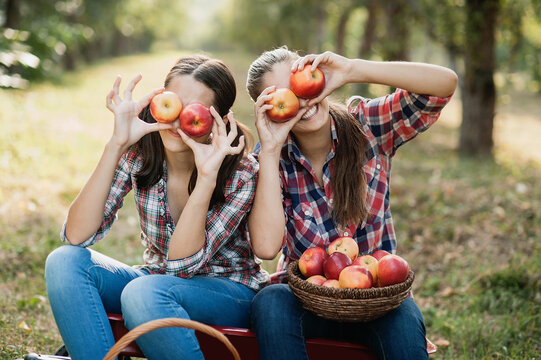 Two teenage girls picking ripe organic apples on farm at fall day. Sisters with fruit in basket. Harvest Concept in country. Garden, teenager eating fruits at fall harvest.