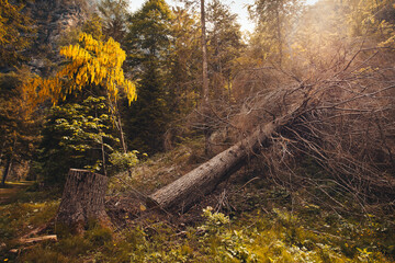 Spruce cut and dried in a wood with laburnum in bloom, Cellina Valley, Italy. Concept concerning the exploitation of the forest