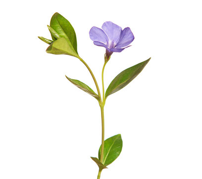 Blue flower of periwinkle isolated on white, Vinca minor