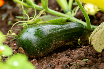Courgette or zucchini fruit growing in summer kitchen garden