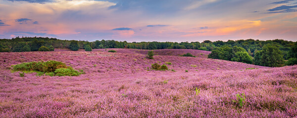 Landscape with purple blooming heather in Nature park Veluwe, Posbank, Oosterbeek, Gelderland in the Netherlands