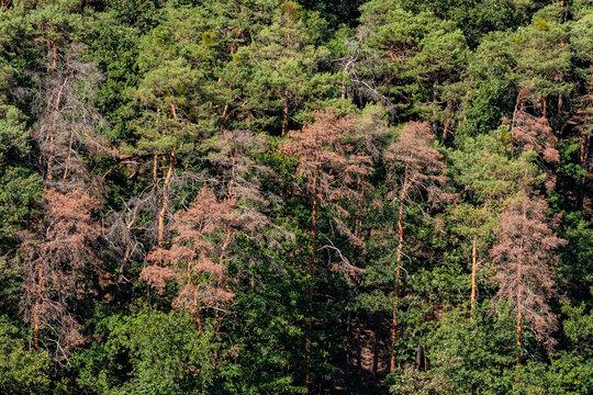 Luftbild von kranken Nadelbäumen im deutschen Wald