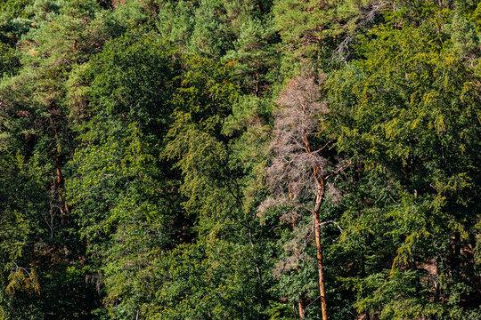Drohnenbild einzelner kranker Fichten in einem grünen Mischwald in Deutschland