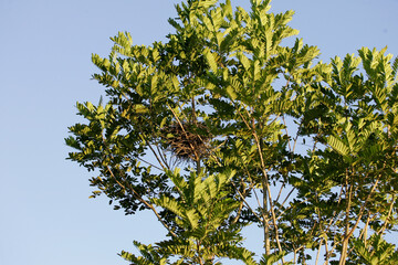 salvador, bahia / brazil - january 30, 2011: nest of birds is seen on a tree branch in the city of Salvador.