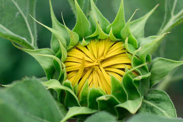 Sunflower with Green Bud Sunflower Blossom - Healthy Lifestyles, Ecology, Organic Farming, Smallholding, Gardening, health concept, nature concept