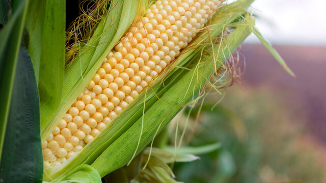 Corn on the stalk in the field. Close up. Sammer day.