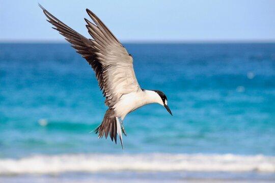 Sooty Tern (Onychoprion fuscatus), Lord Howe Island, Australia