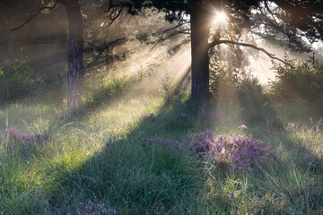 beautiful sunny morning in misty forest