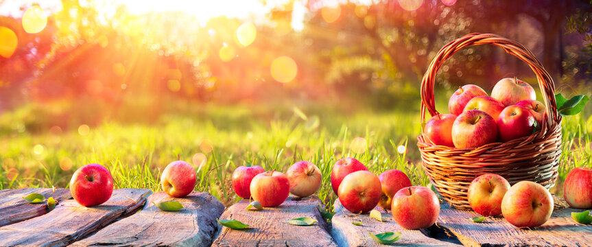 Red Apples In Basket On Wooden Table in Orchard At Sunset - Autumn Background