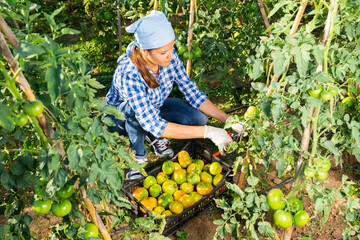 Positive woman harvesting ripe green tomatoes on the farm field