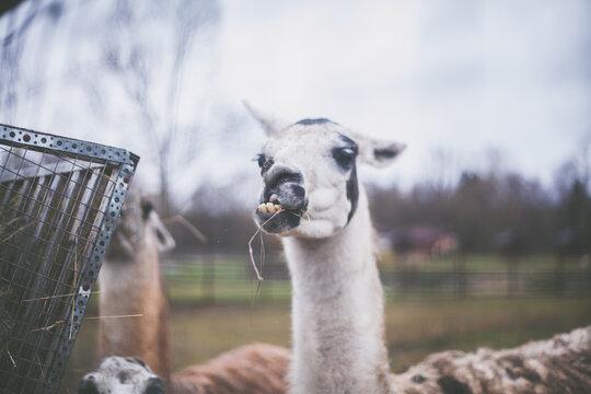 Funny Llama Look At The Camera