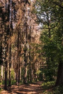 Gesunde und kranke Bäume entlang eines Waldweges in einem deutschen Mischwald