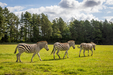 Closeup shot of zebras in nature with trees on the background