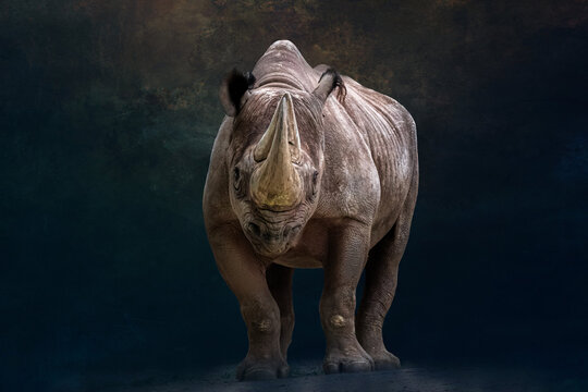 portrait of a black rhino