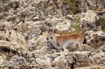 Fototapeta Walia Ibex (Capra walie), Simien mountains national park, Amhara region, North Ethiopia obraz