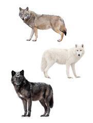 Photo sur Plexiglas Loup Three kinds of wolves isolated on white background.