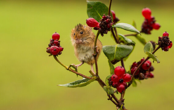 Harvest mouse on a plant eating berries, Indiana, USA
