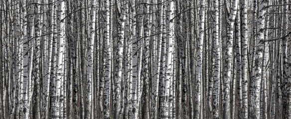 birch trunks black and white stripe