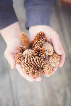 Man holding some fir cones he has collected in Denmark