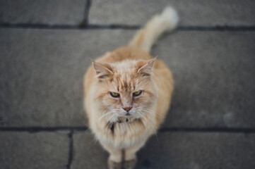 Orange tabby cat looks up from grey sidewalk