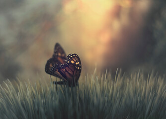 A monarch butterfly in tall green grass in front of an orange dusk