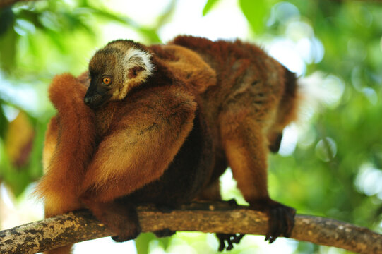 Madagascar, Nose Be, Nosy Komba, portrait of brown crowned lemur with baby in the vegetation (Eulemur coronatus)