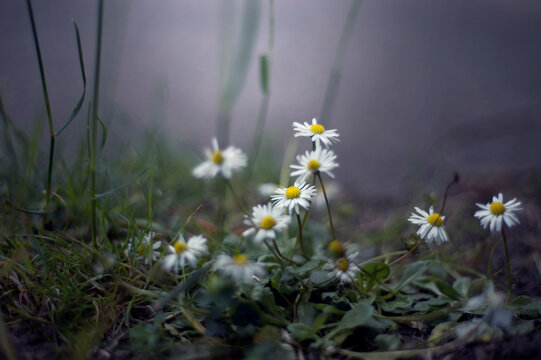 White daisies spring from the grassy earth in cool light