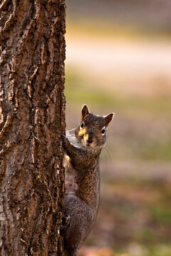 Curious Gray Squirrel Looks out From a Tree