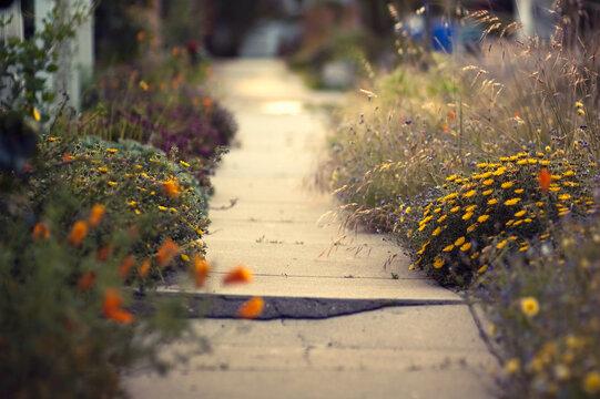 Cracked sidewalk leads a path through spring flowers