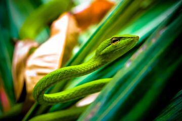 Green Oriental Whip Snake in tropical rainforest