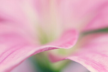 Abstract macro of pink lily flower