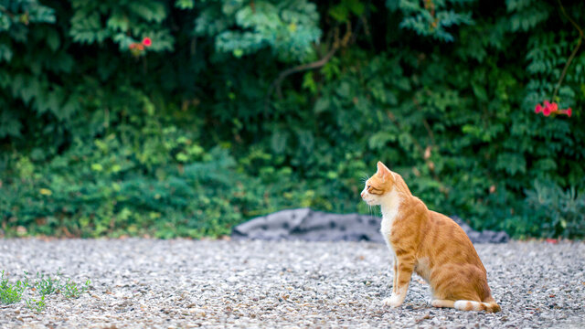 Red and white cat sits in garden in front of campsis shrubs in summer day