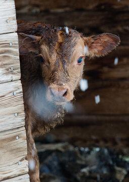 newborn calf peeks around corner of shed on snowy day