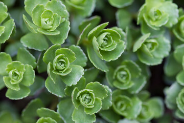 Macro of green sedum plant leaves
