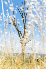 Skeleton of dead tree viewed through stems of dry grass