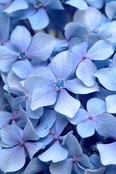 Natural floral background of blue flowers of Hydrangea macrophylla, bigleaf hydrangea