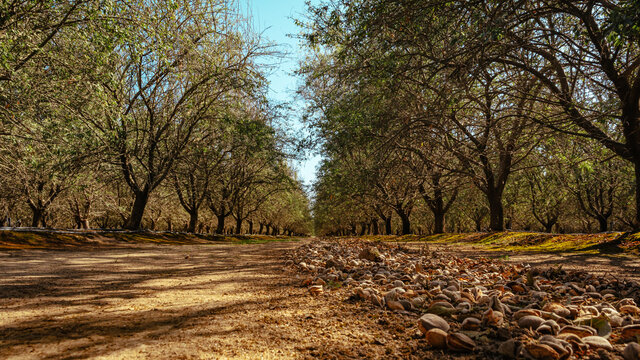 almond trees during harvest
