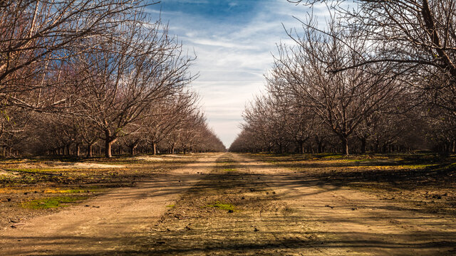 almond orchards during winter