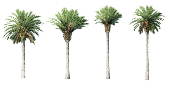 Collection of beautiful 3D canary palm tree isolated on white background