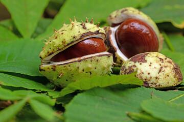 Rosskastanien, Aesculus hippocastanum, in einer Nahaufnahme