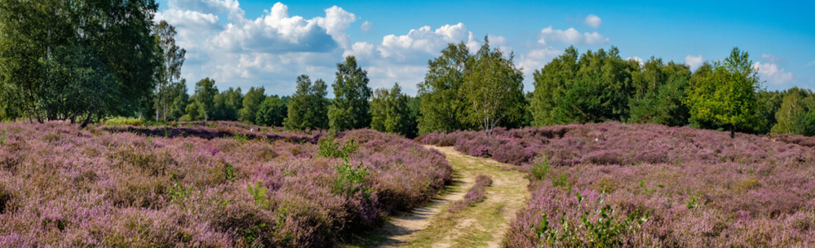 GERMANY. The former airbase Wahn today is a protected nature reserve famous for its Scotch heather.