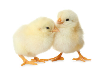 Cute fluffy baby chickens on white background. Farm animals