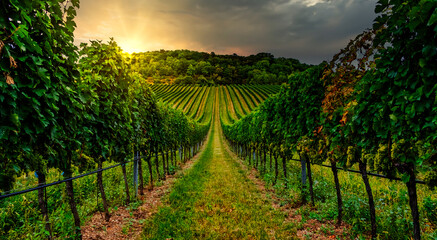 beautiful green vineyards rows at sunset