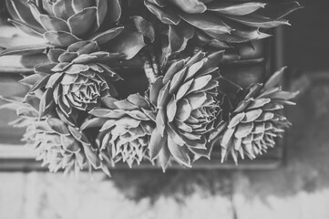 Succulents in Black and White