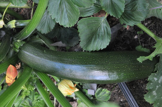 Courgettes from the garden, close up