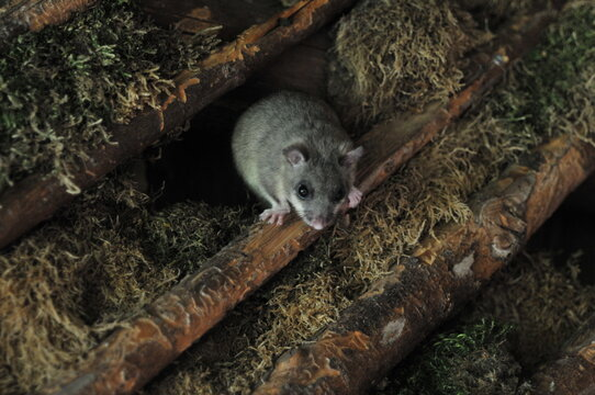 Dormouse looking out of a hole. Close up of face with moss in background